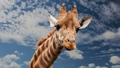Photo of Behold, the giraffe! –just one wonderful illustration that God is not a collectivist…